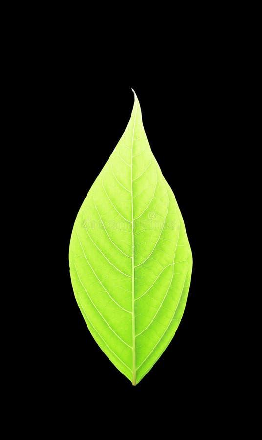 在黑色隔绝的绿色叶子 库存照片