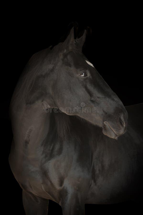 在黑色隔绝的黑马画象 库存图片