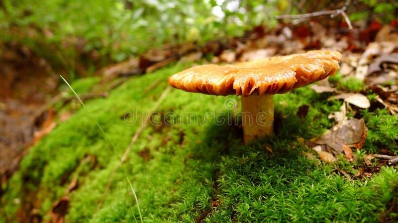 在绿色青苔的金黄布朗蘑菇 免版税图库摄影