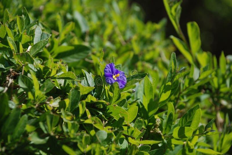 在绿色领域的一点紫色花 库存照片