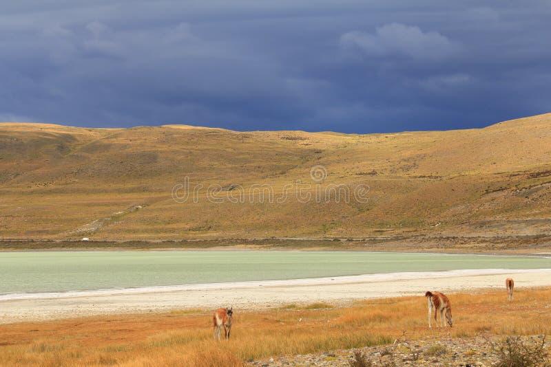 在黄色领域的骆马 免版税库存图片