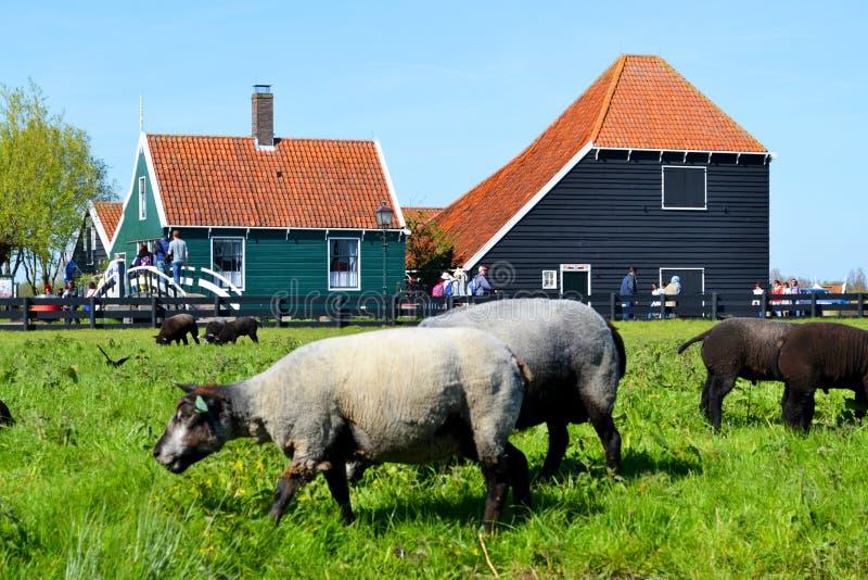 在绿色领域的绵羊 库存照片