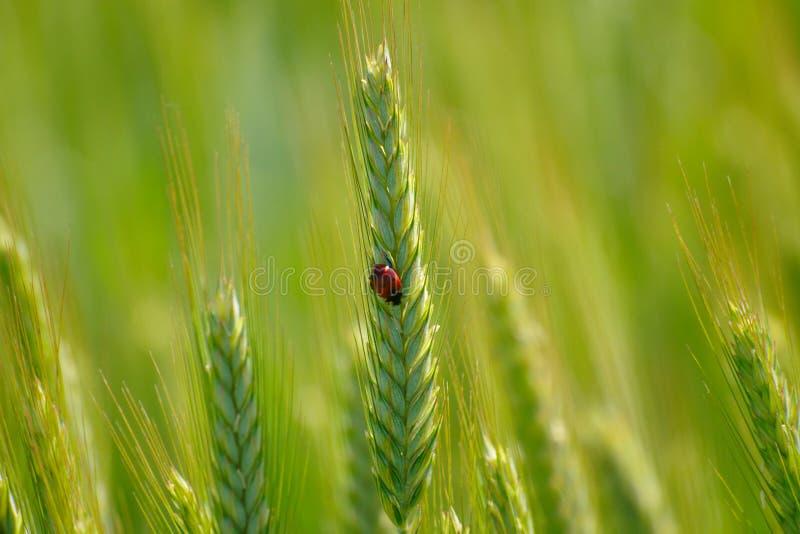 在绿色麦子耳朵的瓢虫 免版税图库摄影