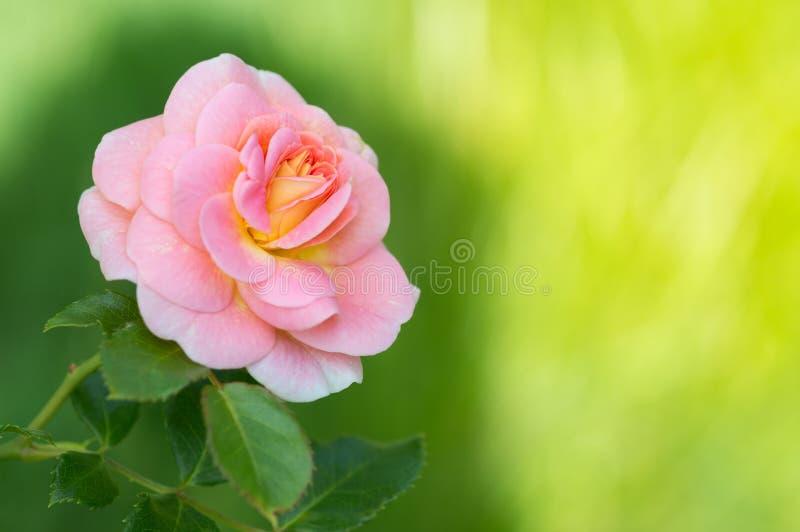 在绿色晴朗的背景的桃红色玫瑰在庭院里 文本的空间 艺术品适用于贺卡 图库摄影