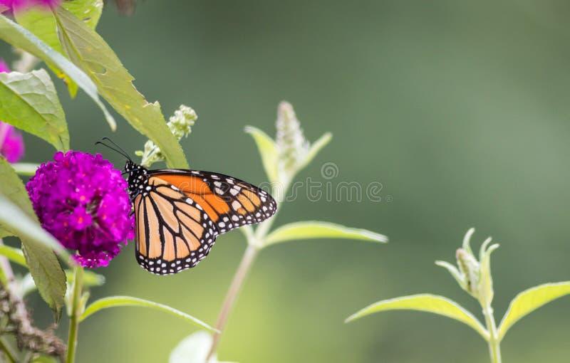 在紫色蝴蝶灌木丛花的黑脉金斑蝶 免版税库存照片