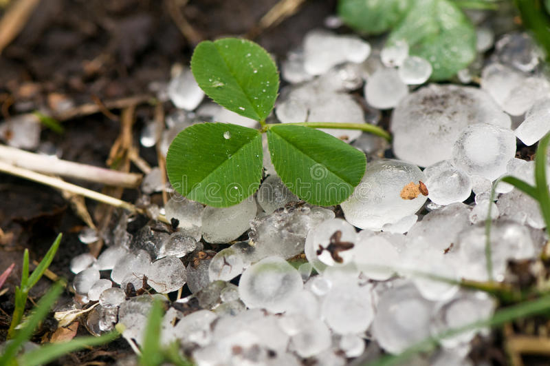 在绿草和三叶草逃脱的叶子的大冰冰雹  免版税图库摄影