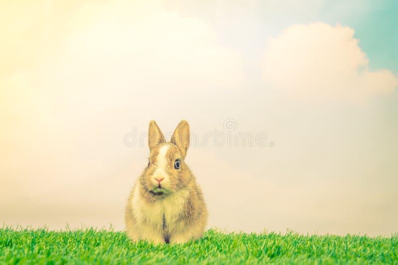 在绿草的兔子为复活节假日(被过滤的图象proces 免版税图库摄影