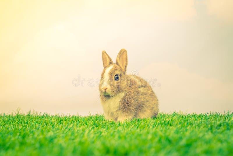 在绿草的兔子为复活节假日(被过滤的图象proces 免版税库存照片