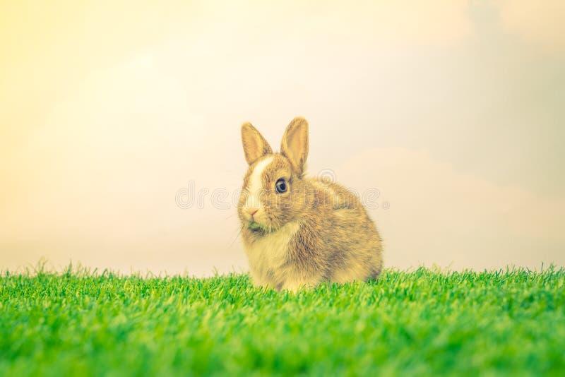 在绿草的兔子为复活节假日(被过滤的图象proces 图库摄影