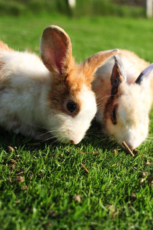 在绿草的仓鼠胸口兔子掉毛有点发紫图片