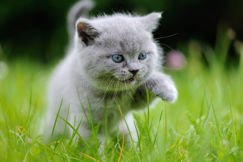 Download 在绿草的小猫 库存照片. 图片 包括有 室外, 草坪, 毛皮, 似猫, 庭院, 灰色, 国内, 哺乳动物 - 72367344