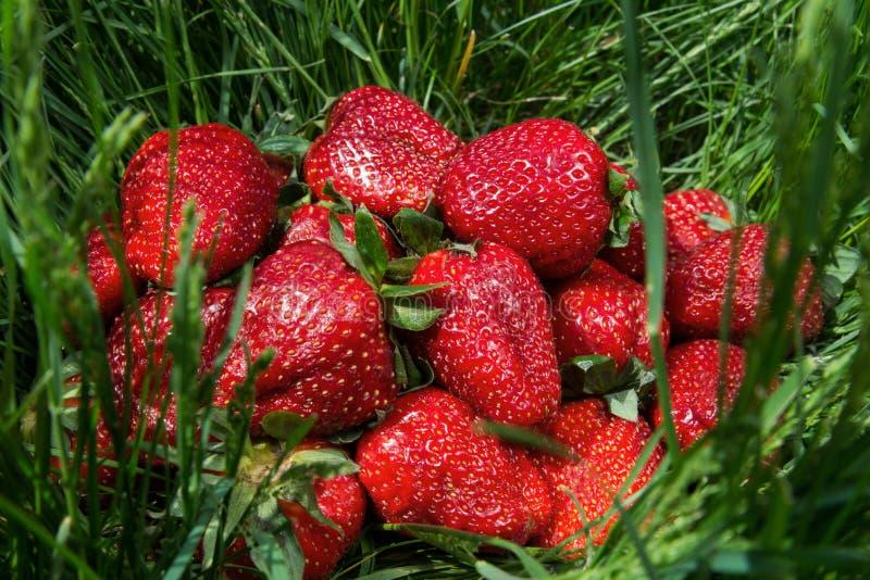 在绿草的成熟草莓 免版税库存照片