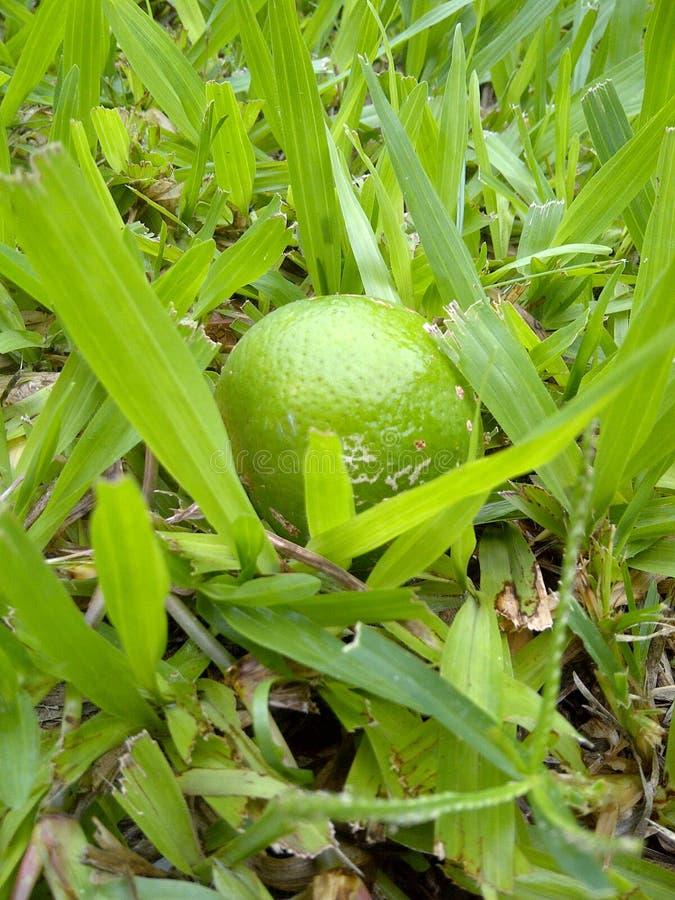 在绿草的柠檬果子 库存照片