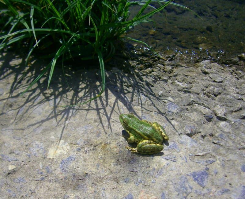 在绿草的池蛙 库存照片