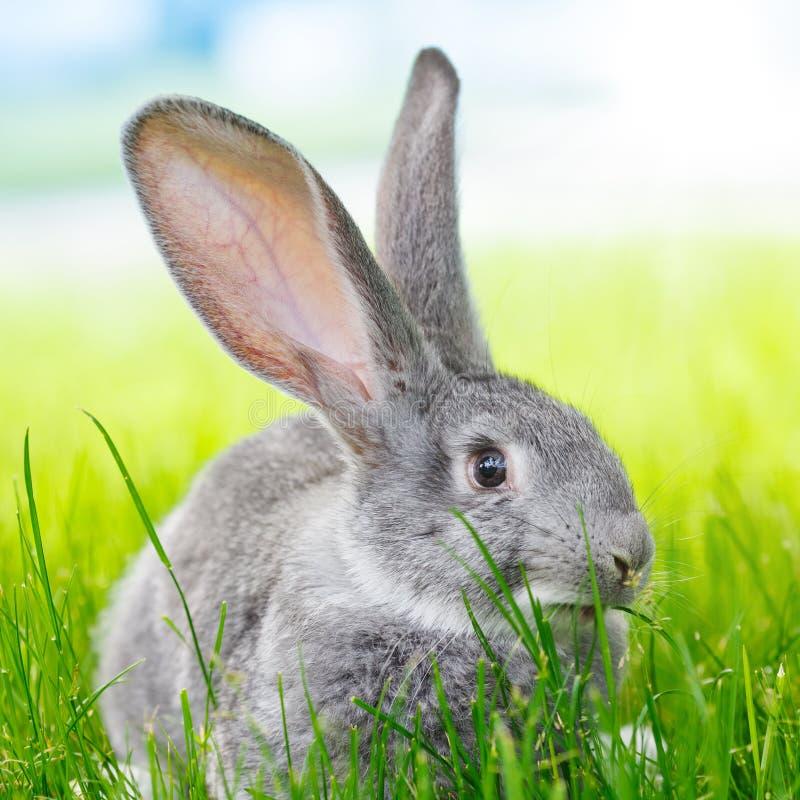 在绿草的灰色兔子 免版税库存图片