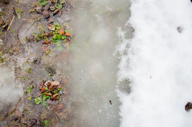 在绿草的熔化的雪 第一朵春天番红花花在从熔化的雪的水中 雪熔化 水流程与团的下雪我 免版税库存照片