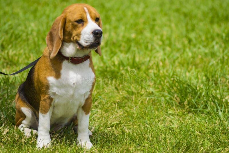 在绿草的狗小猎犬 特写镜头小猎犬 小猎犬狗,画象 库存照片
