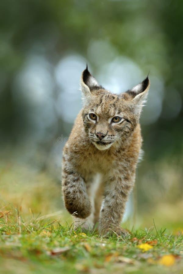 在绿草的猫欧亚天猫座在捷克森林,婴孩小鸡里 免版税库存图片