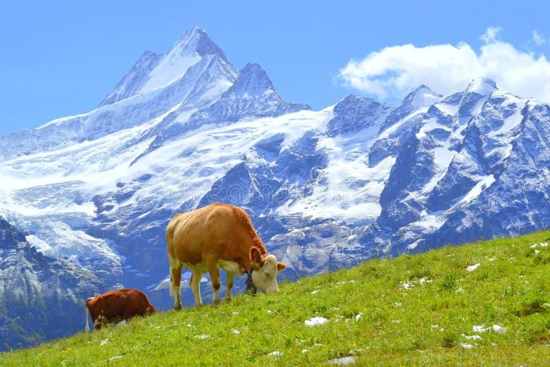 在绿草的瑞士母牛在阿尔卑斯,格林德瓦,瑞士,欧洲 免版税库存图片