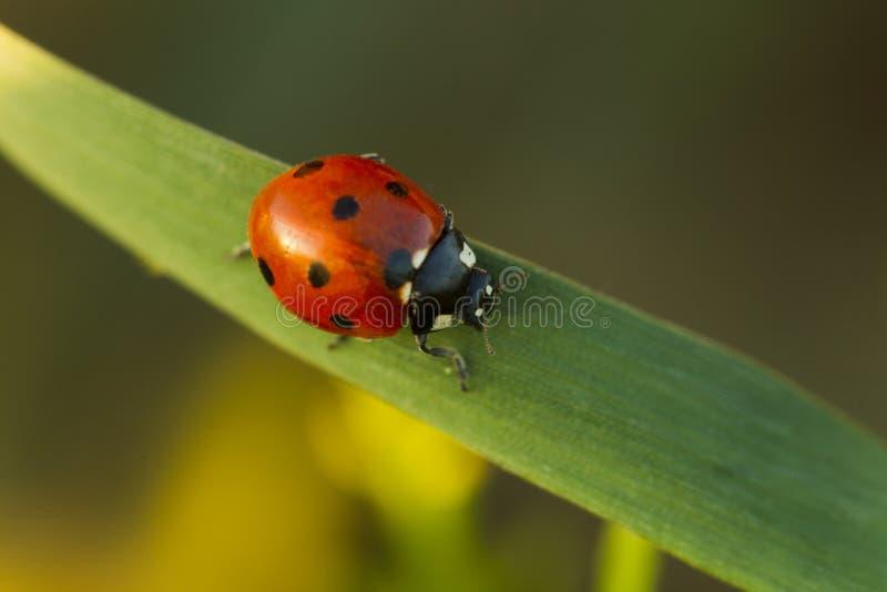 在绿草的甲虫瓢虫 免版税库存照片