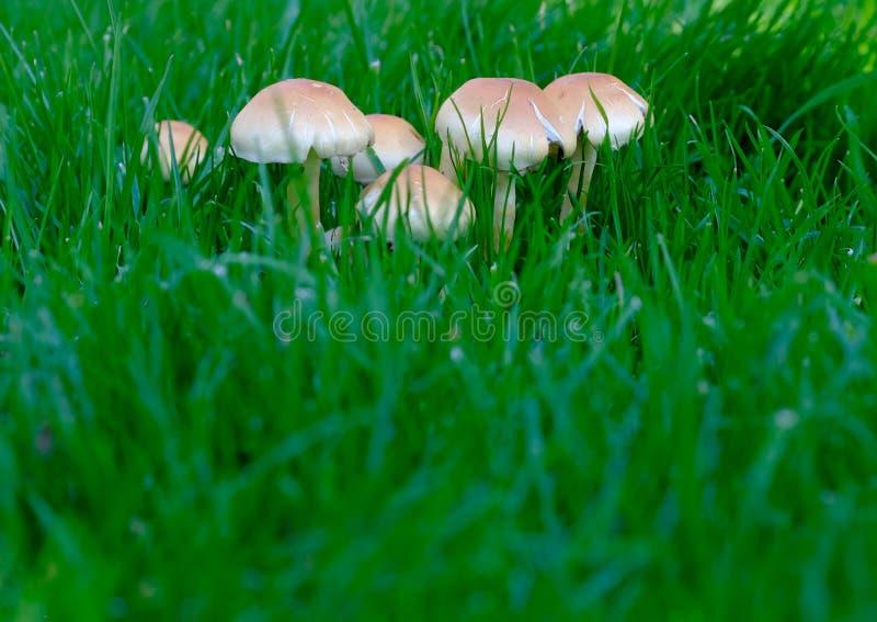 在绿草的真菌 图库摄影