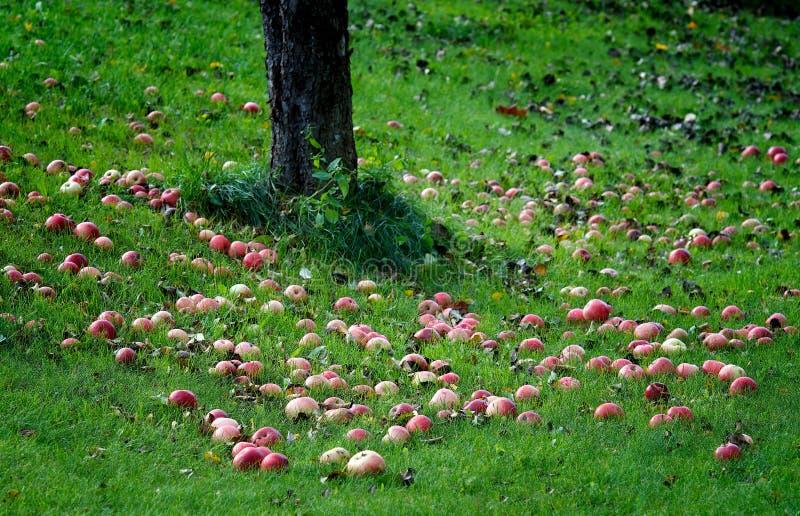 在绿草的红色苹果,在地面的苹果在草的苹果树,片段,红色和黄色苹果下。秋天 免版税库存图片