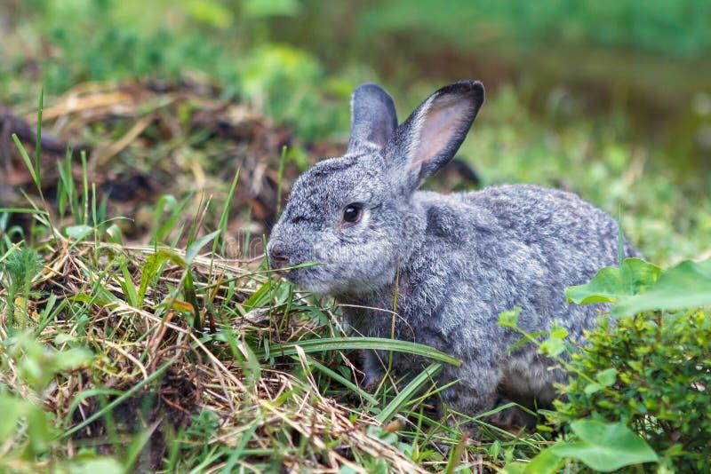 在绿草的逗人喜爱的矮小的灰色兔子 库存图片