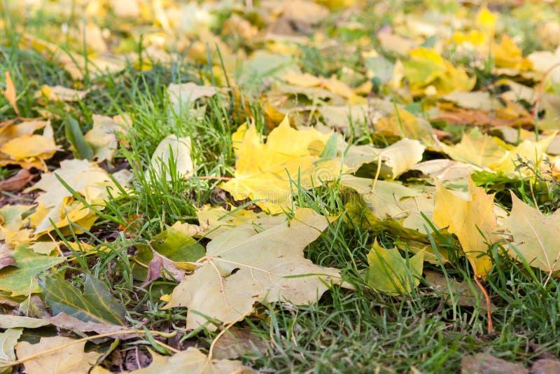 在绿草的黄色秋天mapple叶子 图库摄影
