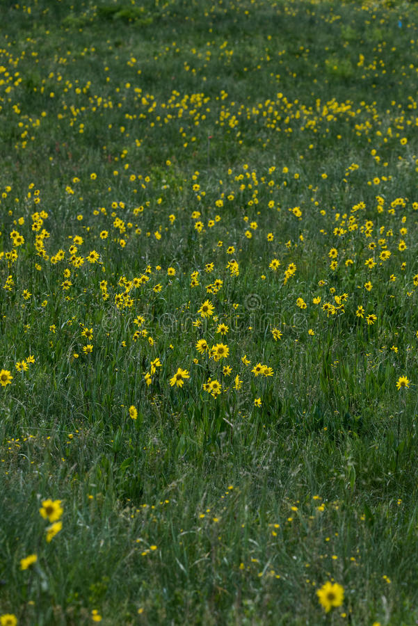 在绿草的黄色野花 免版税库存图片