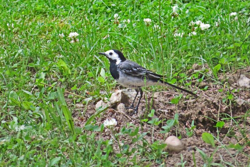 在绿草背景的令科之鸟鸟 图库摄影