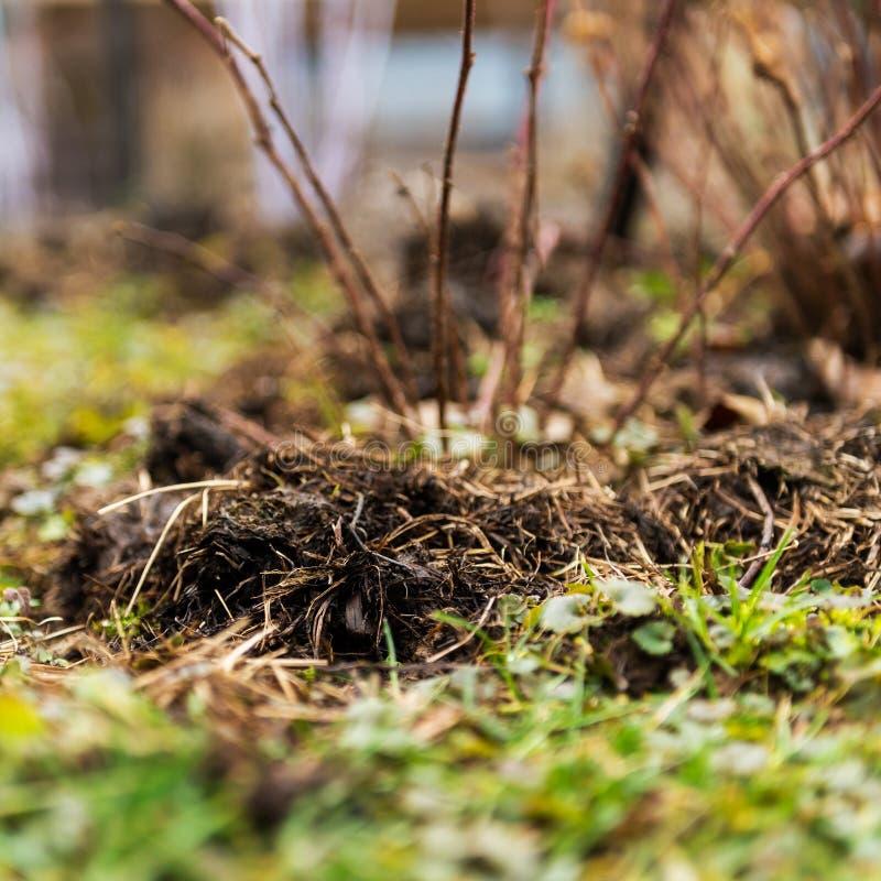 在黑莓植物附近的施肥肥料 免版税库存图片