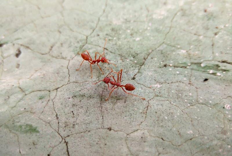 在破裂的水泥地板上的两只红色蚂蚁 库存照片
