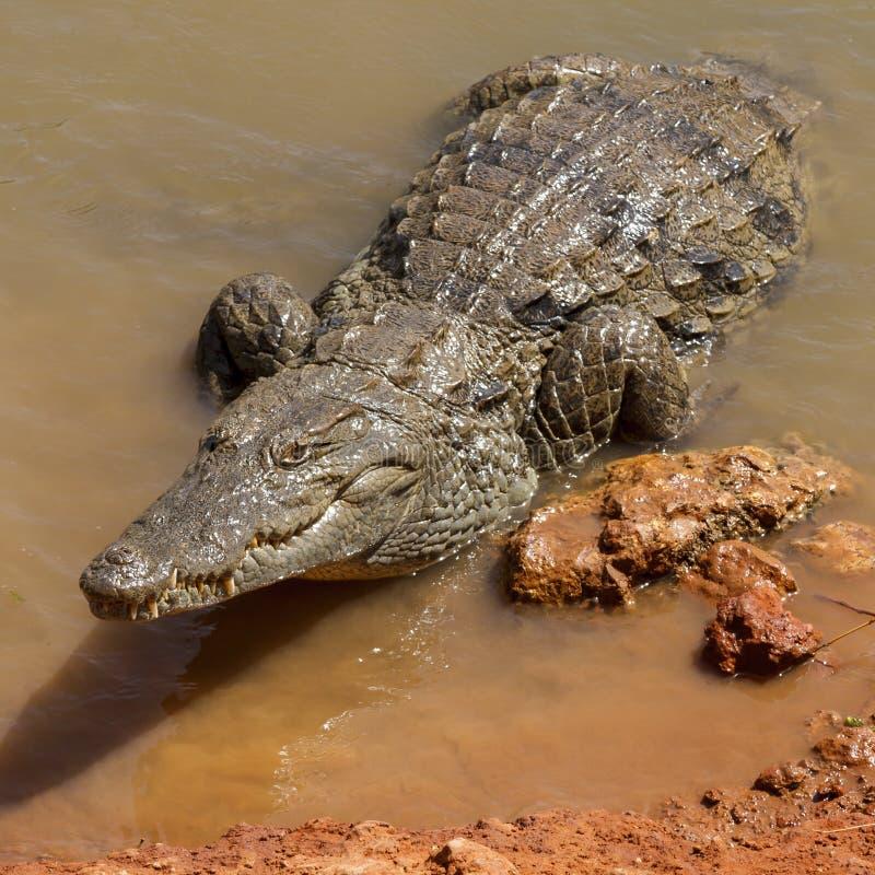 在水边缘的鳄鱼 库存图片