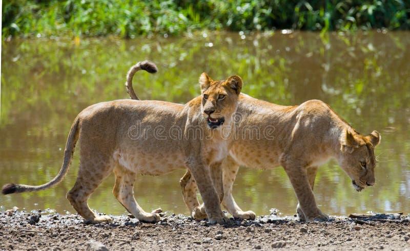 在水附近的两个年轻人狮子 国家公园 肯尼亚 坦桑尼亚 mara马塞语 serengeti 图库摄影