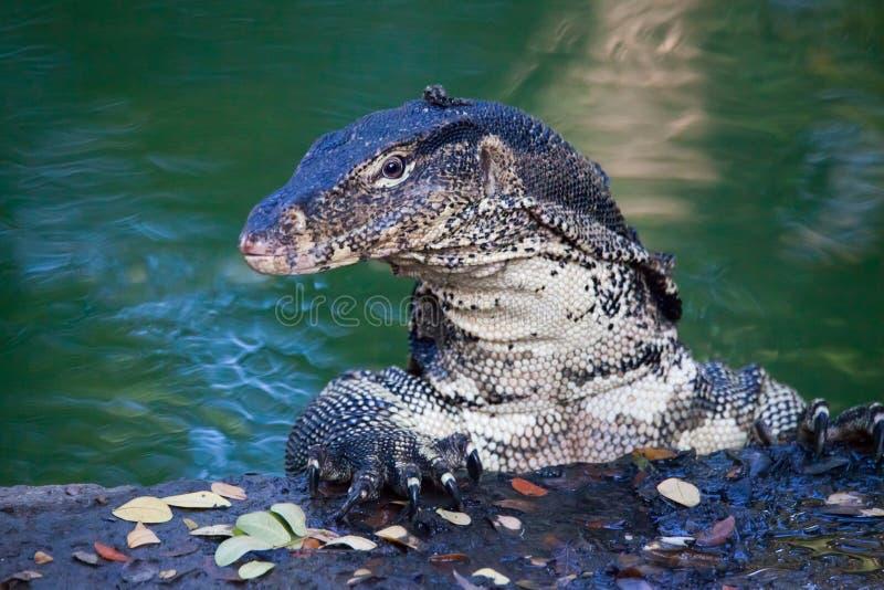 在水附近的被覆盖的监控蜥蜴 库存照片