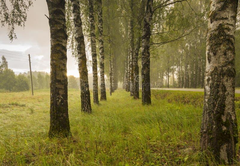 在暴雨的桦树门 免版税库存图片