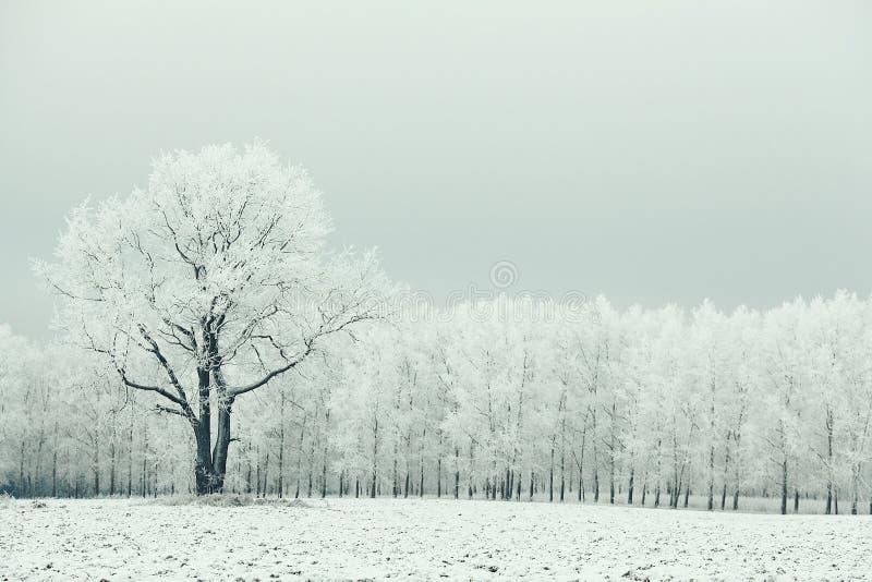 在结霜的领域的偏僻的树 库存照片