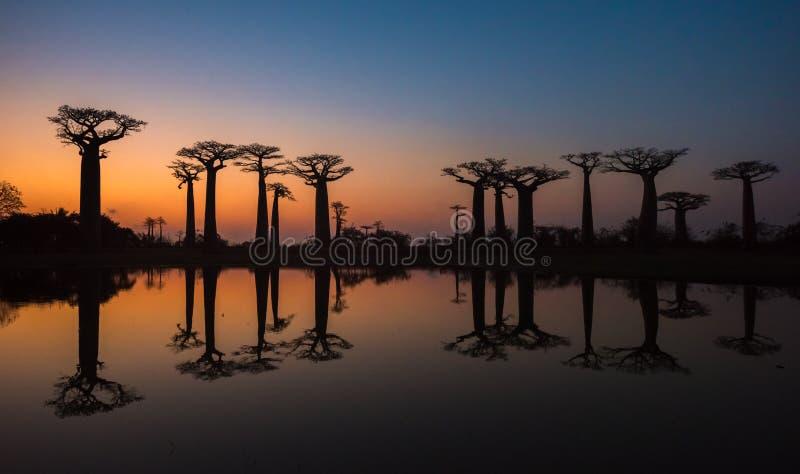 在猴面包树的胡同,马达加斯加的日落 图库摄影