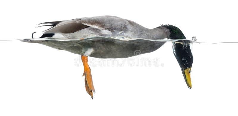 在水,语录platyrhynchos下的野鸭渔, 免版税图库摄影