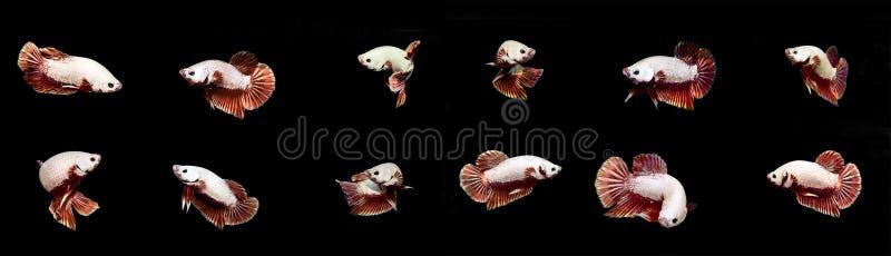 在黑backgro的联合的白色Betta鱼暹罗战斗的鱼 免版税图库摄影
