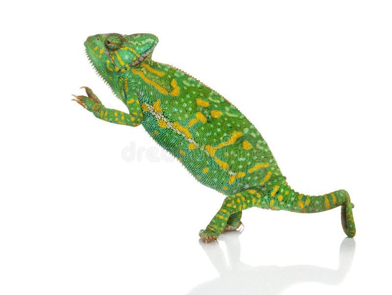 在- Chamaeleo calyptratus -被隔绝的后腿的也门变色蜥蜴 库存照片