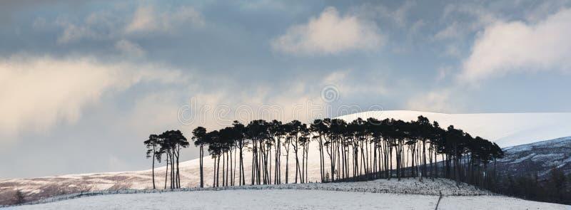 在Abernethy斜坡的杉木在苏格兰的Cairngorms国家公园 库存图片