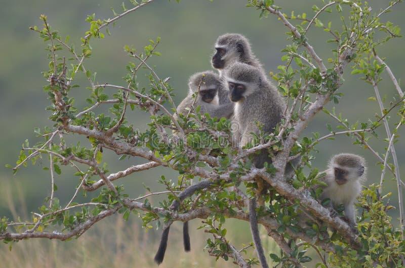 在Addo大象国家公园的黑长尾小猴 库存图片