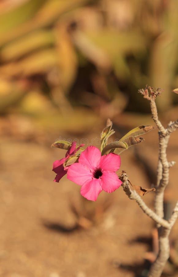 在Adenium obesum swazicum的桃红色花 库存图片