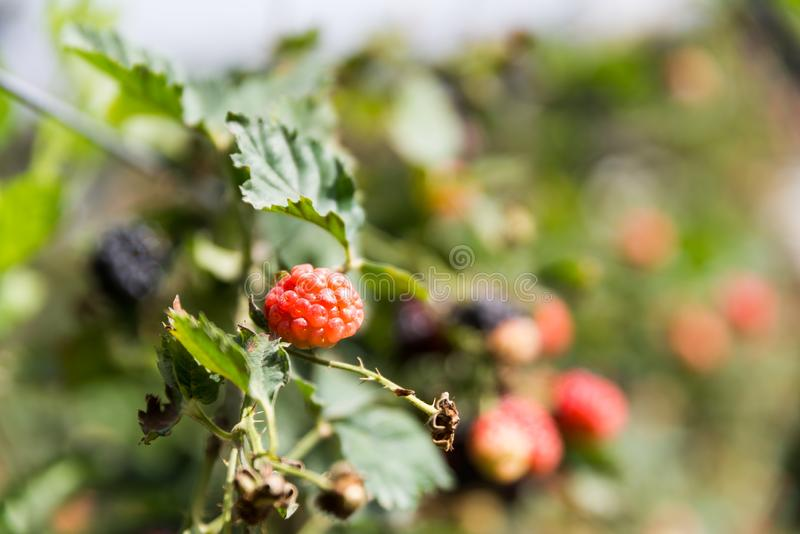 在Agronen莓的自已采摘在盖代拉 库存图片