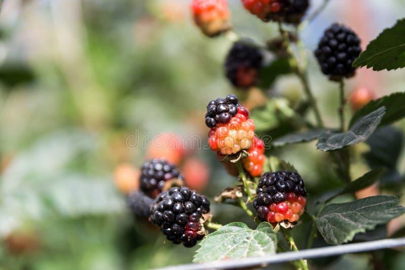 在Agronen莓的自已采摘在盖代拉 免版税图库摄影