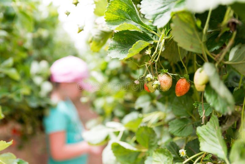 在Agronen莓的自已采摘在盖代拉 免版税库存图片