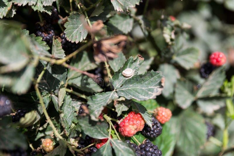 在Agronen莓的自已采摘在盖代拉 免版税库存照片