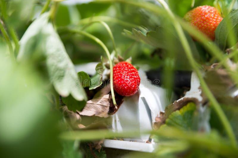 在Agronen莓的自已采摘在盖代拉 库存照片