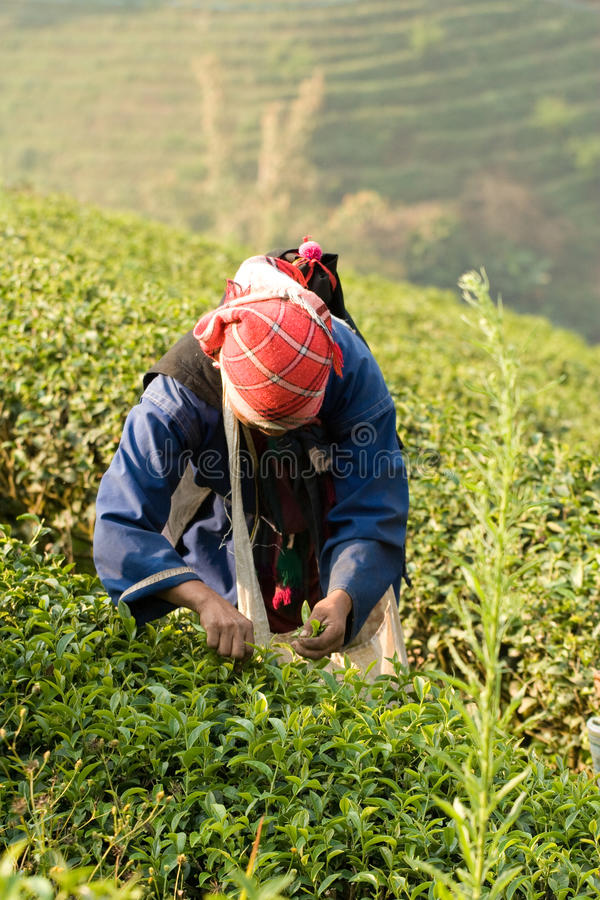 在Akha族群的山腰妇女,收获茶叶 库存图片